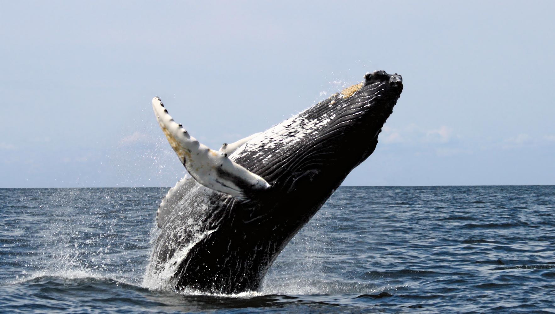 Chant baleine à bosse